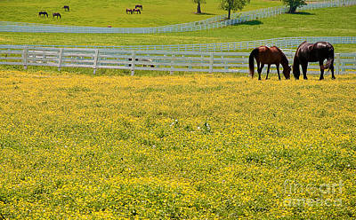 Horses Grazing In Field Poster