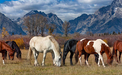 Horses Grazing In The Grand Tetons Poster
