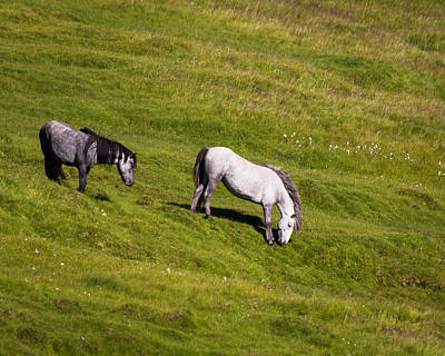 Horses Grazing, Summertime, Iceland Poster by Panoramic Images