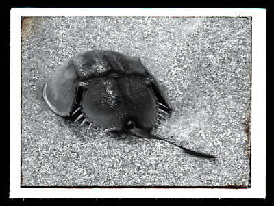 Horseshoe Crab With Black Border Poster