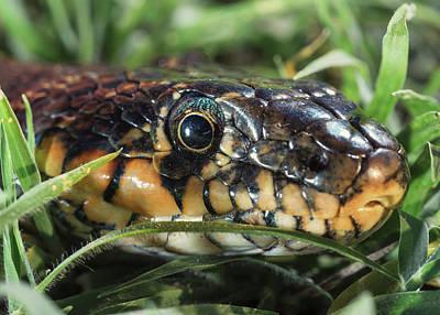 Horseshoe Whip Snake  Hemorrhois Poster by Ben Welsh