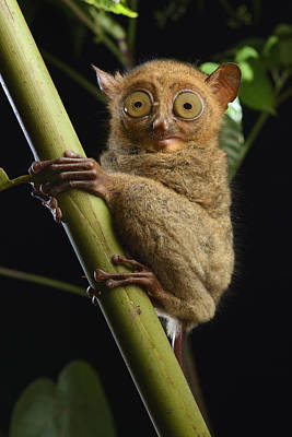 Horsfields Tarsier Kuching Malaysia Poster by Ch'ien Lee