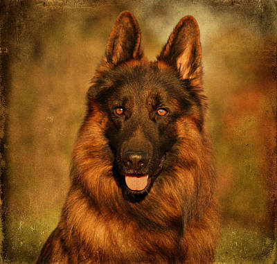 Hoss - German Shepherd Dog Poster by Sandy Keeton