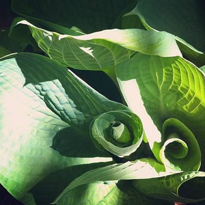 Hosta Curl Poster by Stephanie Aarons