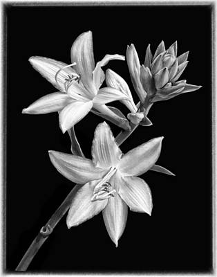 Hosta Flowers In Black And White Poster by Carolyn Derstine