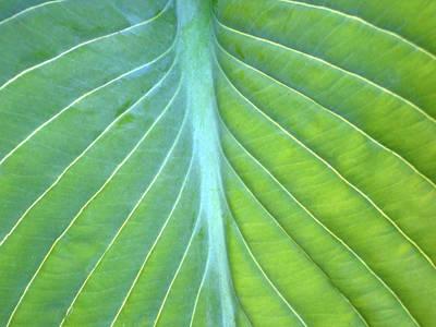 Hosta Leaf Close-up Poster by Anna Miller