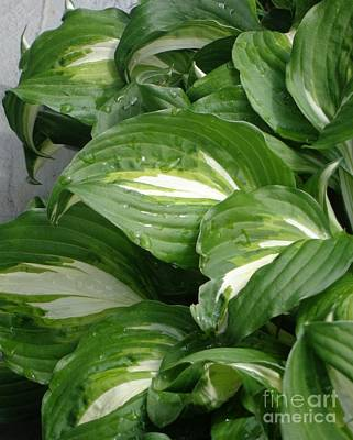 Poster featuring the photograph Hosta Leaves After The Rain by Christina Verdgeline