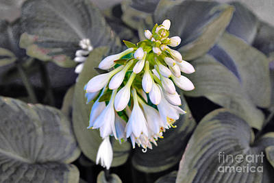 Hosta Ready To Bloom Poster