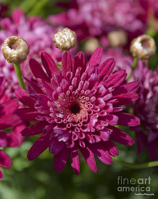 Hot Pink Chrysanthemum Poster by Ivete Basso Photography