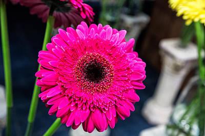 Hot Pink Gerber Daisy Poster