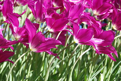 Poster featuring the photograph Hot Pink Tulips 2 by Allen Beatty
