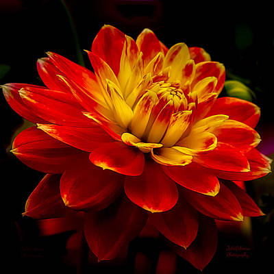 Hot Red Dahlia Poster by Julie Palencia