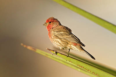 House Finch (carpodacus Mexicanus Poster by Larry Ditto