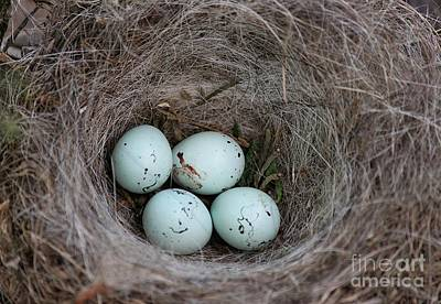 House Finch Nest Poster by Erica Hanel