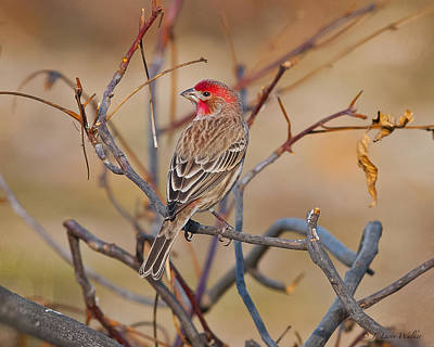 House Finch Singing His Song Poster