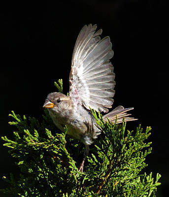 Poster featuring the photograph House Sparrow by David Lester