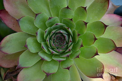 Poster featuring the photograph Houseleek Sempervivum by Scott Lyons