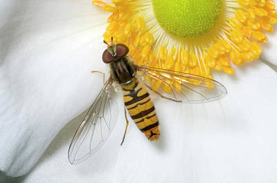 Hoverfly On A Flower Poster by Nigel Downer