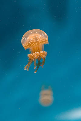 Hovering Spotted Jelly 1 Poster by Scott Campbell