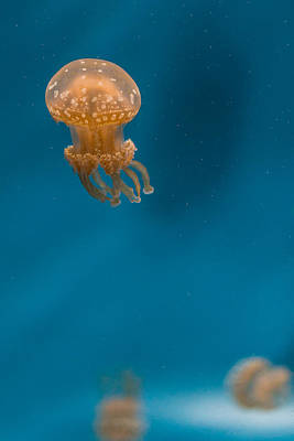 Hovering Spotted Jelly 2 Poster by Scott Campbell