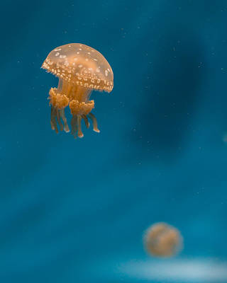 Hovering Spotted Jelly 3 Poster by Scott Campbell
