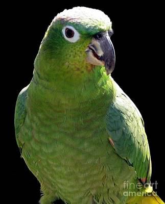 Huey The Mealy Amazon Parrot Poster by Rose Santuci-Sofranko