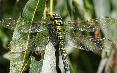 Huge Dragon-fly In Detail. Poster