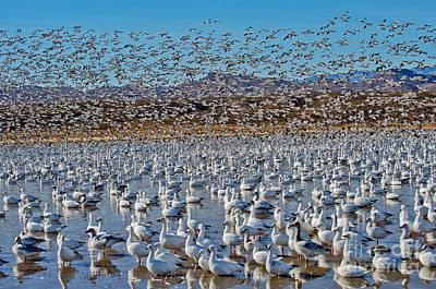Huge Flock Of Snow Geese Poster by Anthony Mercieca