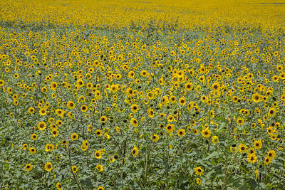 Huge Wild Sunflower Colony Poster