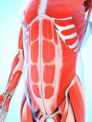 Human Abdominal Muscular System Poster