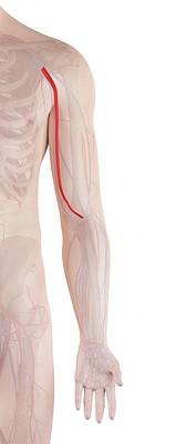 Human Arm Artery Poster by Sciepro