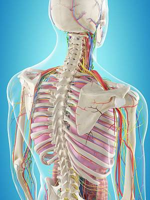Human Back Anatomy Poster by Sciepro