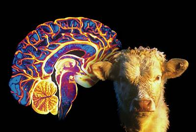 Human Brain And Beef Cow Poster by Gjlp/cnri