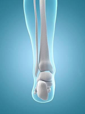 Human Heel Bones Poster by Sebastian Kaulitzki