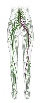 Human Nervous System From Spine To Foot Poster