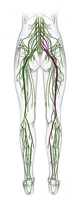 Human Nervous System, Lower Body Poster