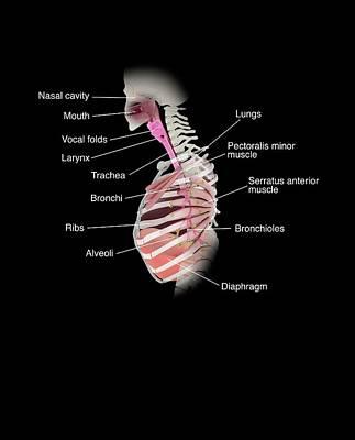 Human Respiratory System Poster by Mikkel Juul Jensen
