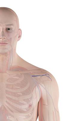 Human Shoulder Artery Poster by Sciepro