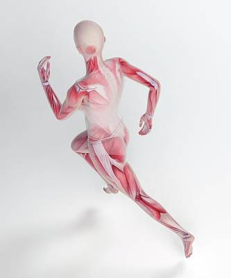 Human Skeletal Structure Of A Runner Poster by Andrzej Wojcicki