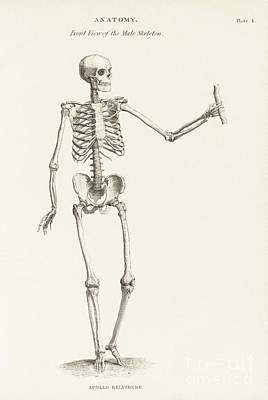 Human Skeleton Anatomy, 19th Century Poster