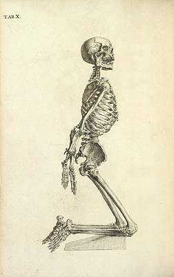 Human Skeleton Kneeling Poster by British Library
