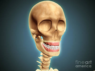 Human Skeleton Showing Teeth And Gums Poster by Stocktrek Images