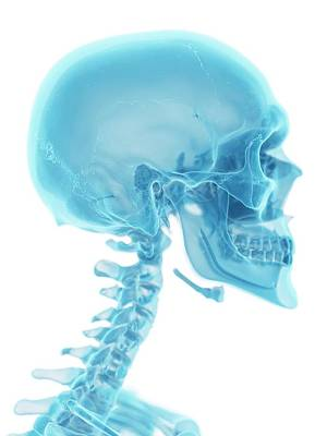 Human Skull And Neck Poster