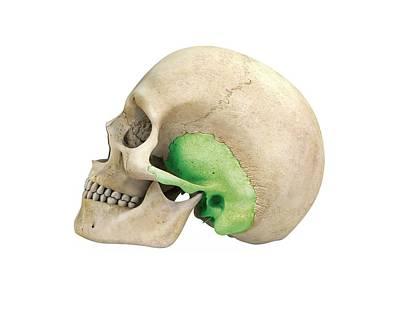 Human Skull And Temporal Bone Poster
