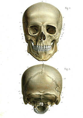 Human Skull Poster by Collection Abecasis
