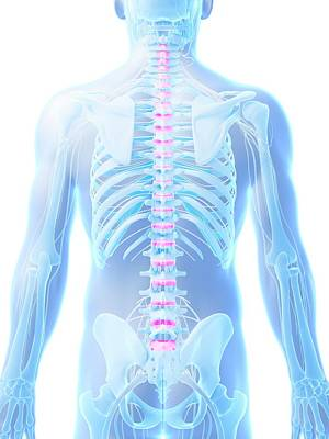 Human Spinal Discs Poster by Sebastian Kaulitzki