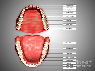 Human Teeth Structure With Labels Poster by Stocktrek Images
