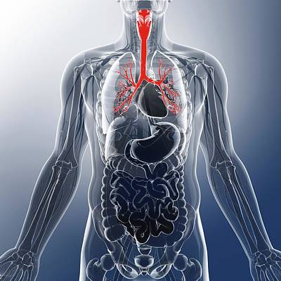 Human Throat Poster