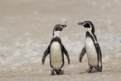 Humboldt Penguins Punta San Juan Peru Poster by Cyril Ruoso
