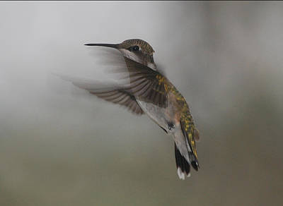 Poster featuring the photograph Hummingbird 6 by Leticia Latocki